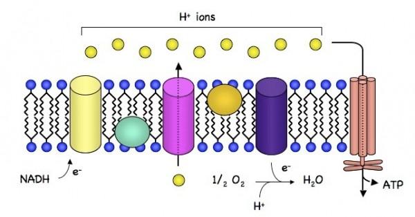 化学渗透简单模型