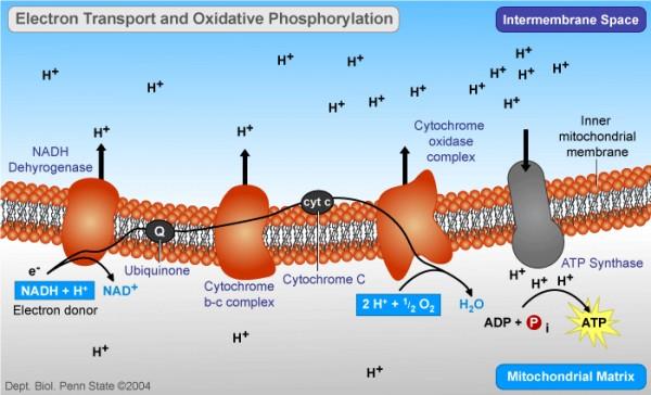 线粒体有氧呼吸-化学渗透反应链路